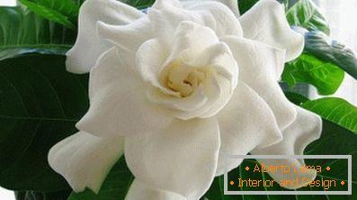 Gardenia Jasmin Spezifität Der Pflege Zu Hause